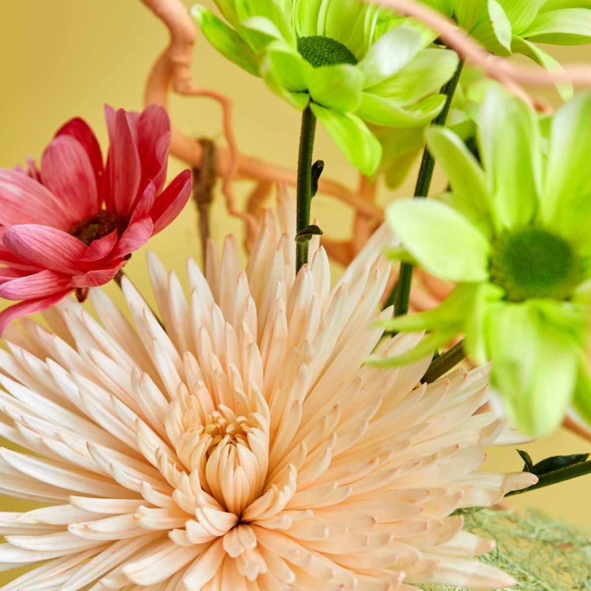 gekleurde chrysanten